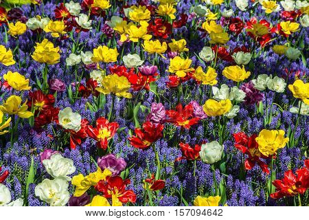 Glade of colorful fresh tulips. Colorful tulips in the park. Spring landscape. Tulip background. Colorful tulips in the Keukenhof garden, Netherlands. Beautiful bouquet of tulips.