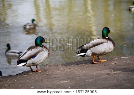 Mallard Ducks walks on the shore of the pond and swimming in the pond. Wild ducks. Drinking duck a brown duck is drinking water from a puddle. Ducks swimming in the lake