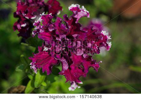 Blossom terry petunia. Petunia in the summer garden.