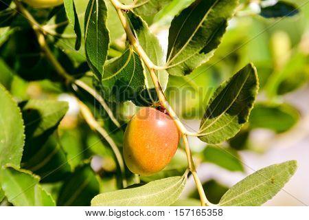 Zizyphus Jujuba Fruit