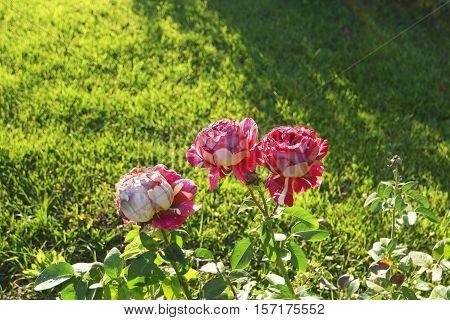 Three roses on rosebush in autumn garden, copyspace