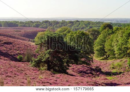 The Posbank is a particularly heathland in the Netherlands
