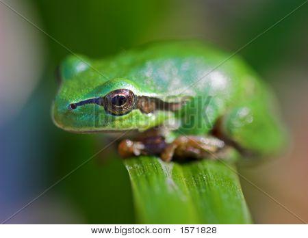 Frog On A Leaf.