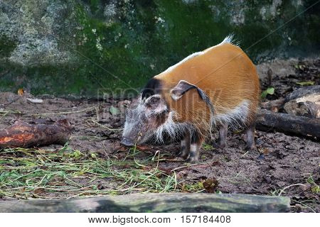 Red river hog also known as Bush Pig chewing some grass