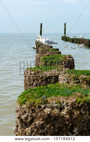Seagulls on the wooden groynes on the beach at the north sea Zeeland Holland