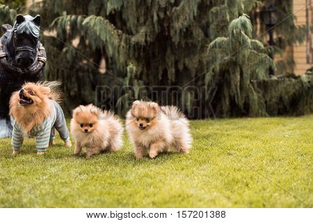 small puppies spitz breed walking on the grass at the yard