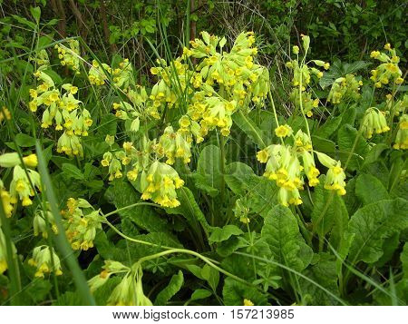 Cowslips (Primula veris) flowering in an orchard