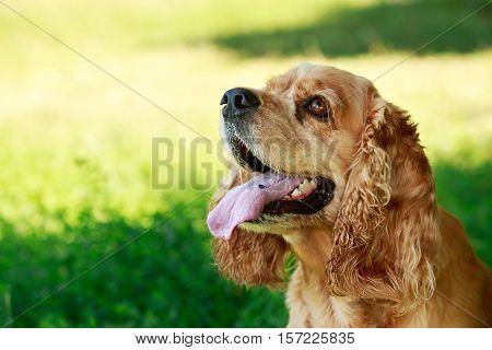 dog breed American Cocker Spaniel on a green grass