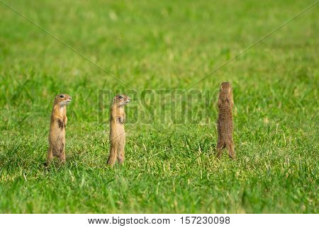 Three European Ground Squirrels Standingl on Meadow