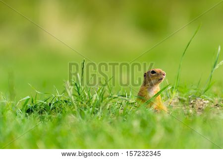 Cute European Ground Squirrel Watching on Meadow
