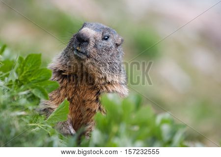 Head Of Marmot In Grass, Switzerland Alps