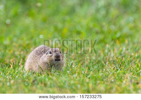 Funny Angry Ground Squirrel on a Short Grassy Field, Combat Squirrel