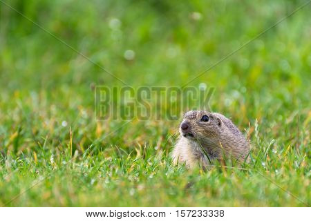 Angry Ground Squirrel on a Short Grassy Meadow