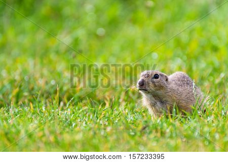 Angry Ground Squirrel on a Short Grassy Field