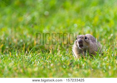 Ground Squirrel on a Short Grassy Field with Open Mouth