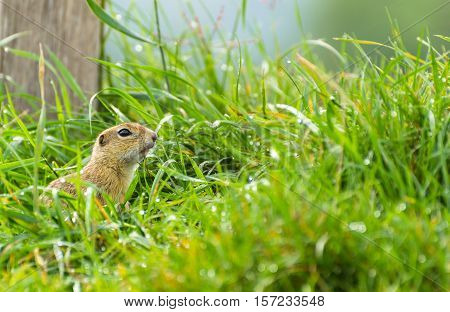 Ground Squirrel Standing in The Dewy Grass
