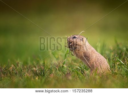 Cute Ground Squirrel Standing on Meadow with Mouth Full of Grass
