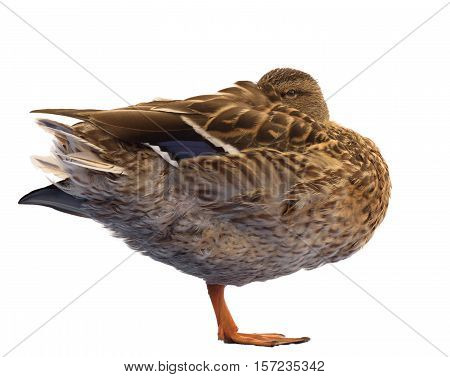 Mallard Duck Standing on One Leg. Isolated on White Background.