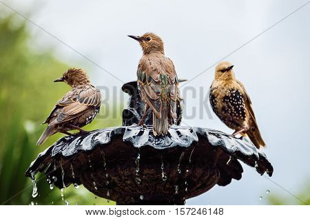 European Common Starling spotted birds on fountain bathing, drinking water