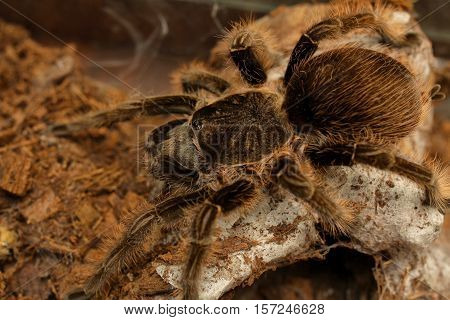 big scary and hairy spider tarantula in terrarium