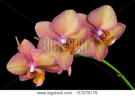 Close-up of multicolor orchid flowers. Zen in the art of flowers. Macro photography of nature.