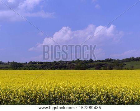Here is a wonderful wide rape field.