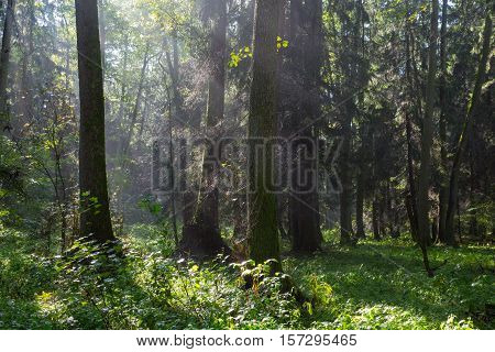 Sunbeam entering rich deciduous riparian stand in misty morning just rain after, Bialowieza Forest, Poland, Europe