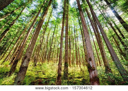 Rays Of Morning Sunlight Through Tall Trees Of Evergreen Forest