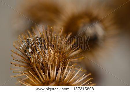 Close-up photo of Burdock Burs in autumn.