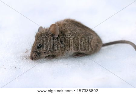a house mouse (Mus musculus). A close up