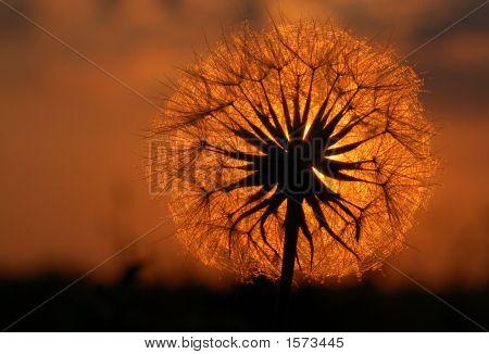 Isle Royal Dandelion Sunset