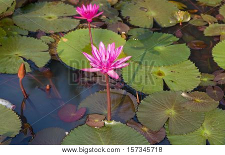 White lily or lotus flower (lotus pointed white) in the water of a pond with long tapered and pointed petals and fern shaped leaves.