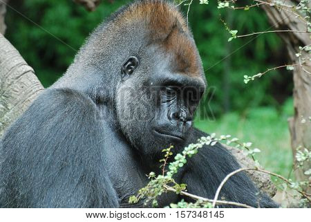 An up close look at a silverback gorilla.