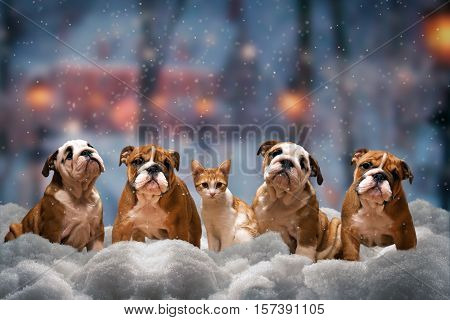 Four red dog a breed of English bulldog and red cat sitting on the snow under the falling snow