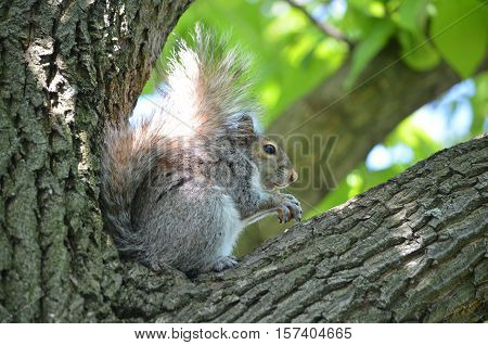 Amazing looking squirrel sitting in the crook of a tree with a nut.