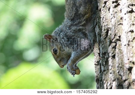 Cute grey squirrel with a peanut climbing down a tree.