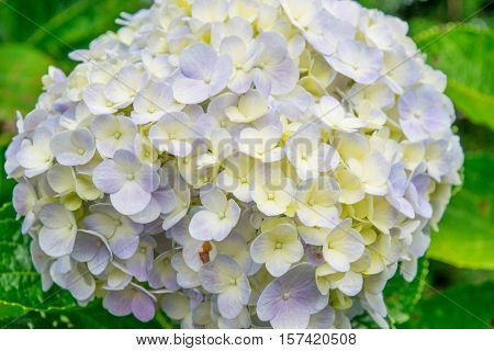 Pale yellow and blue hydrangea close up in a park of flowers at a garden flowerbed