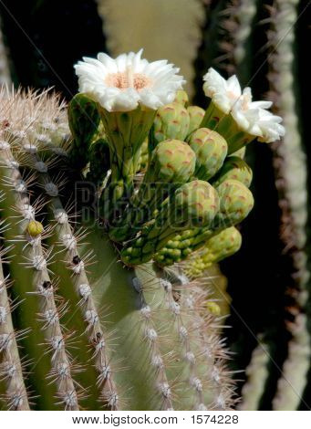 Saguaro Cactus Bloom