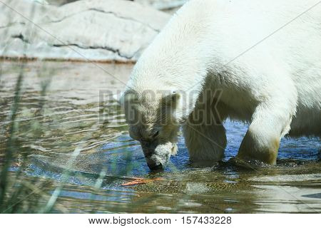SAN DIEGO, USA - MAY 29, 2015: Polar bear angling for a carrot under water in the San Diego Zoo.
