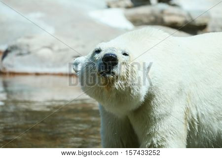 SAN DIEGO, USA - MAY 29, 2015: Close-up of a polar bear from the front in the San Diego Zoo.