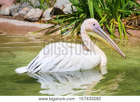 SAN DIEGO, USA - MAY 29, 2015: Great white pelican swimming in a pond in the San Diego Zoo.