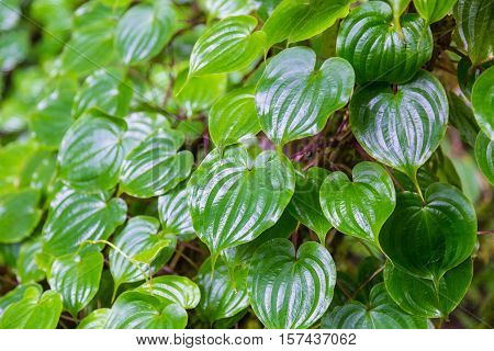 Green hearted shape leaves on Doi Inthanon mountain northern Thailand