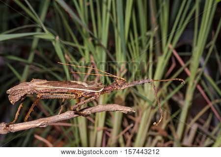 Moss Mimic Stick Insect - Anthropoda