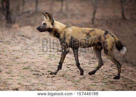 African wild dog, side view, Kruger National Park