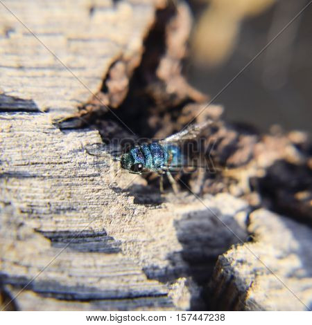 Ruby - Tailed Wasp