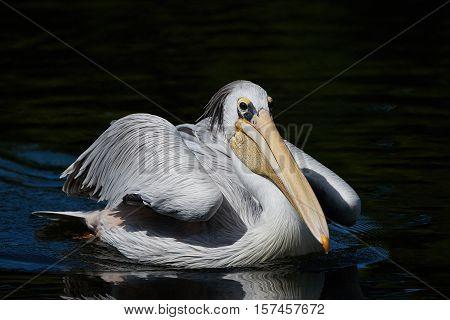 Pink-backed pelican (Pelecanus rufescens) swimming i water in ite habitat