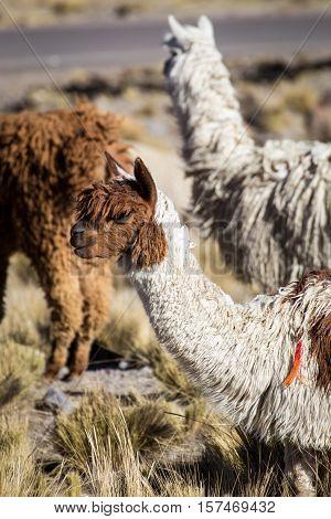 Herd of alpacas at Andes of Peru, en route to Puno