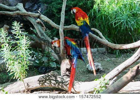 Two beautiful colorful macaw parrot sitting on a branch. a pair of birds on summer background.