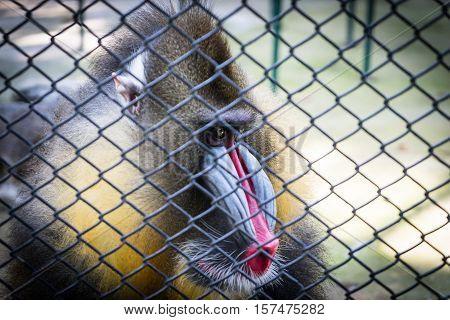 Mandrill Baboon monkey sad face behind a cage