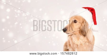 Dachshund Dog Wearing Santa Hat